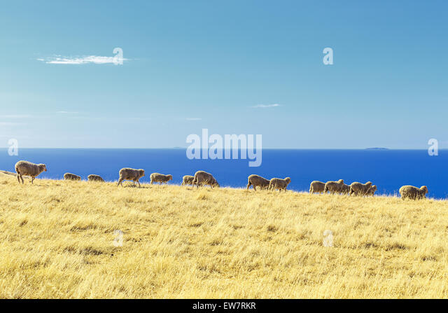 Sheep in a field, Kangaroo Island, Australia - Stock Image