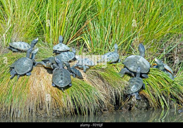 A Group of Diamondback Terrapin's resting on the shoreline - Stock-Bilder
