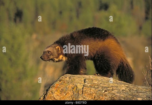 tk0606, Thomas Kitchin; Wolverine in Autumn, Rocky Mountains - Stock Image