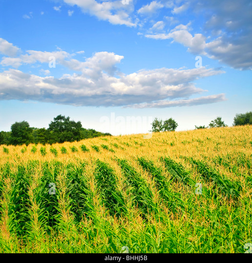 Agricultural landscape of corn field on small scale sustainable farm - Stock Image