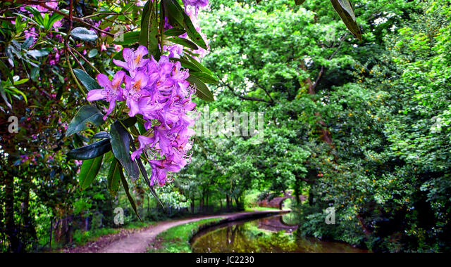 Caldon Canal, Staffordshire. 13th Jun, 2017. UK Weather: A typical English spring time scene wild Rhododendron Moerheim - Stock Image
