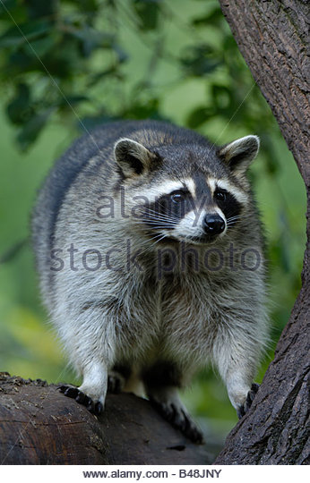 Waschbaer Raccoon Procyon lotor Germany Saarland Deutschland - Stock Image