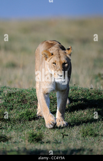 Lion (Panthera leo) female lioness walking, Masai Mara, Kenya - Stock Image