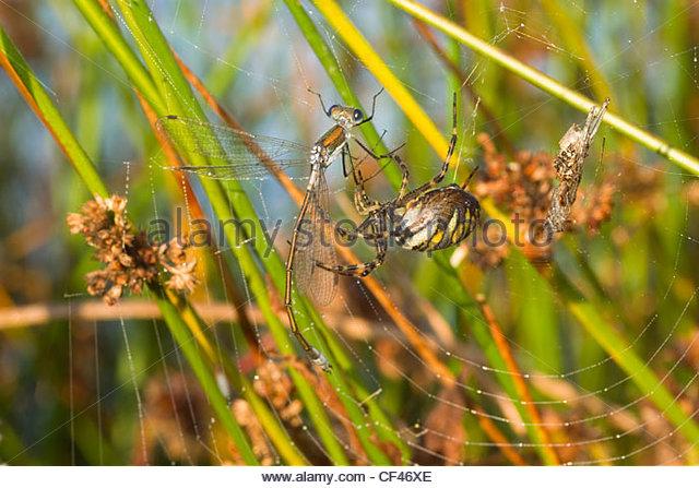 Wasp spider (Argiope bruennichi) - Stock-Bilder