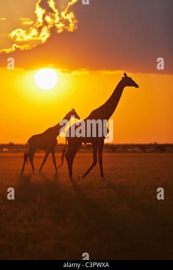Africa, Botswana, Giraffes in central kalahari game reserve at sunset - Stock Image