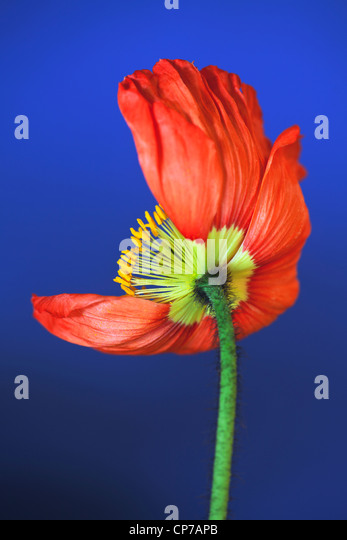 Papaver croceum, Papaver nudicale, Poppy, Icelandic poppy, Red, Blue. - Stock Image