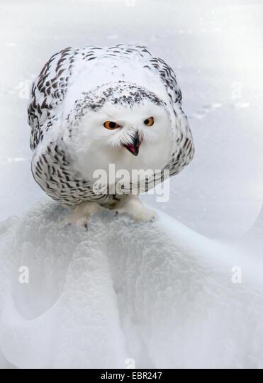 Snowy Owl (Strix scandiaca, Nyctea scandiaca, Bubo scandiacus), sits in snow - Stock Image