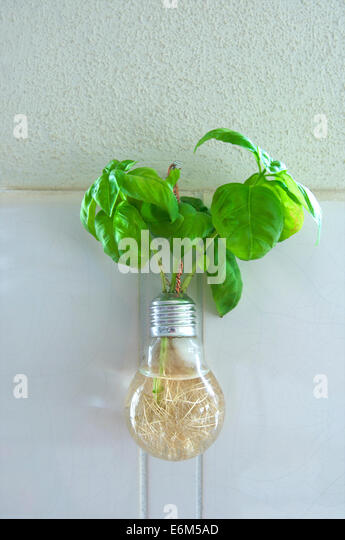 The herb basil growing in a recycled light bulb and hanging on the wall in a kitchen - Stock-Bilder
