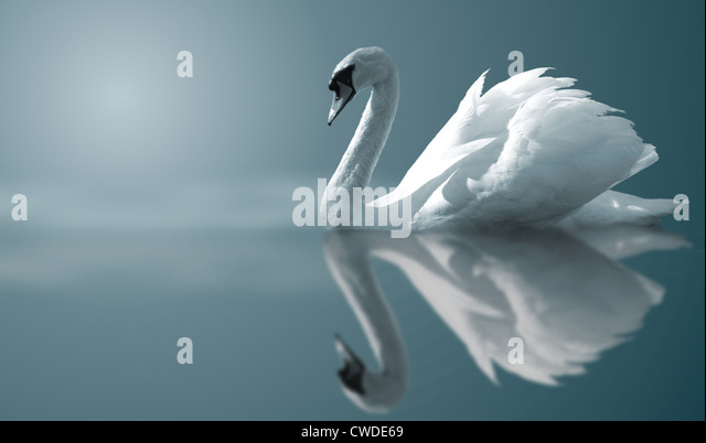 reflection,swan - Stock Image