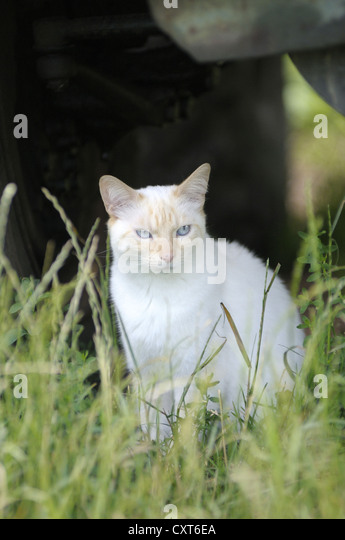 Thai cat sitting in the grass under a tractor - Stock Image