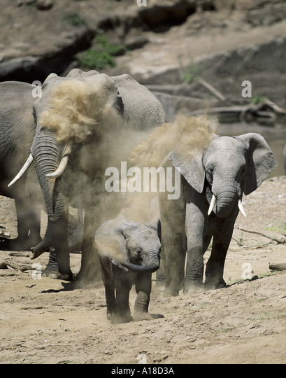Elephants dust bathing Masai Mara Kenya - Stock Image