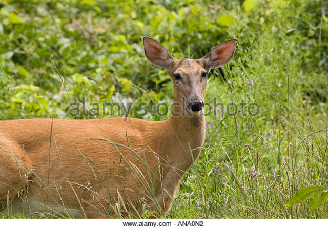 A wild white tail deer in a city park made over by the Toronto Waterfront Naturalization Initiative in Toronto Ontario - Stock Image
