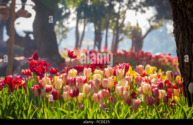 Field of Tulips in various colors - Stock Image