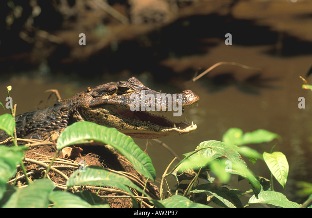 Costa Rica caiman resting in sun in middle of river - Stock Image