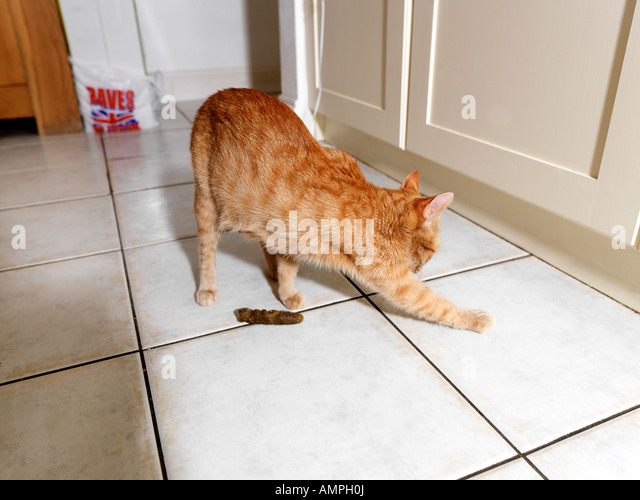 Cat Embarassed by House Soiling Trying to cover Faeses up - Stock Image