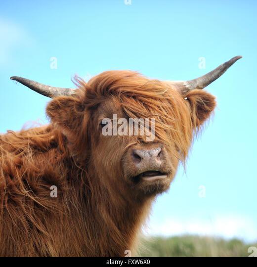 highland cow - Stock Image