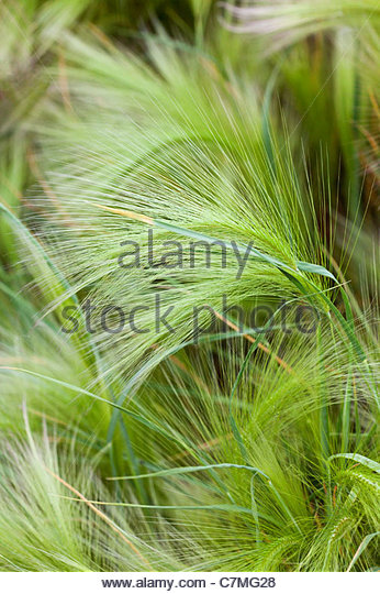 Hordeum jubatum - Squirrel Tail Grass - Stock Image