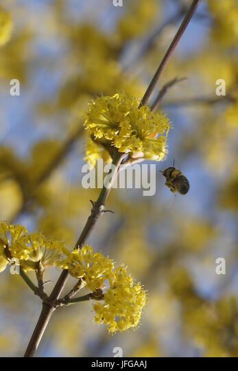 Cornus mas, European Cornel, with bee - Stock Image