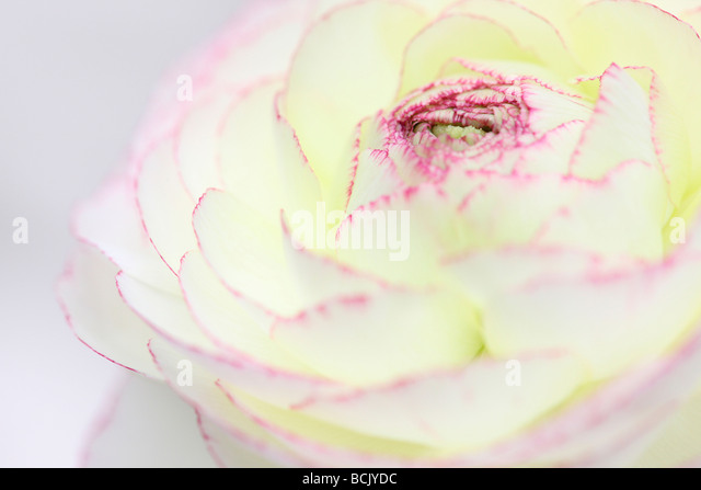 beautiful white ranunculus with dark pink tipped petals  Jane Ann Butler Photography  JABP394 - Stock Image
