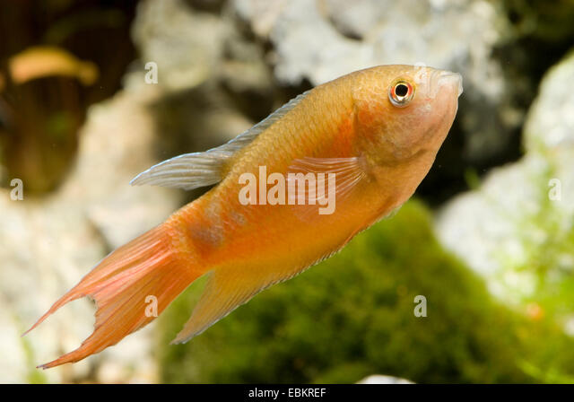 Red paradise fish (Macropodus opercularis), breed form red - Stock Image