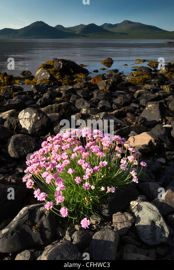 Thrift flowering on shoreline of Loch Na Keal, Isle of Mull, Scotland, June 2011 - Stock Image