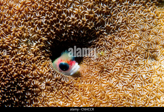 A blenny fish sticks its head out of a hole in a coral reef off the coast of Coiba, Panama. - Stock Image