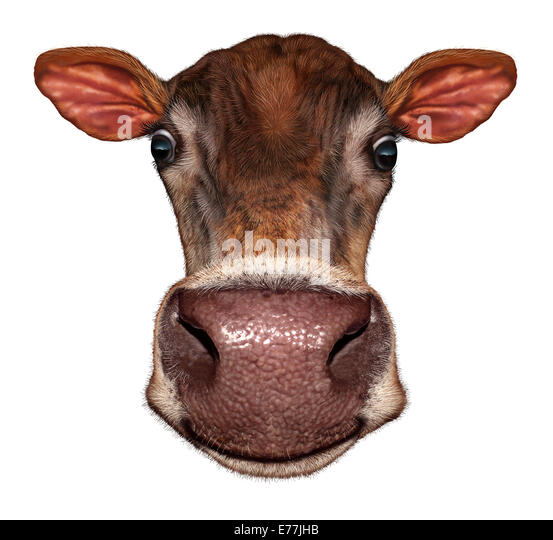 Cow head on a white background as a smiling fun dairy farm animal in a frontal view extreme perspective angle as - Stock Image