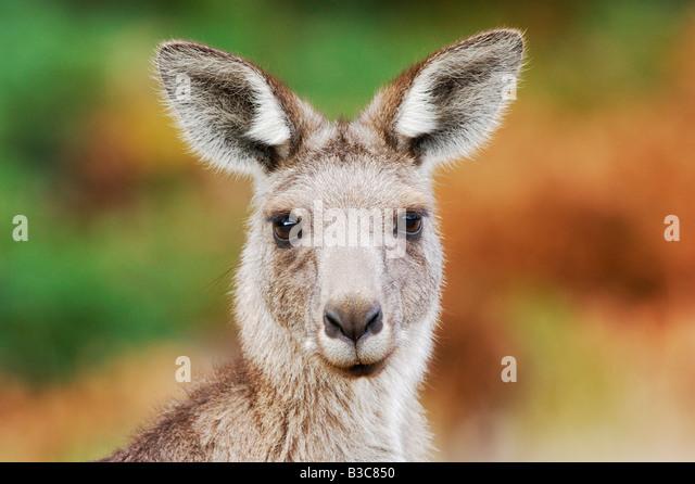 Western Grey Kangaroo Macropus fuliginosus adult Australia - Stock Image