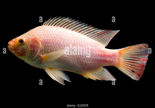 Mozambique tilapia stock photos mozambique tilapia stock for Tilapia aquarium