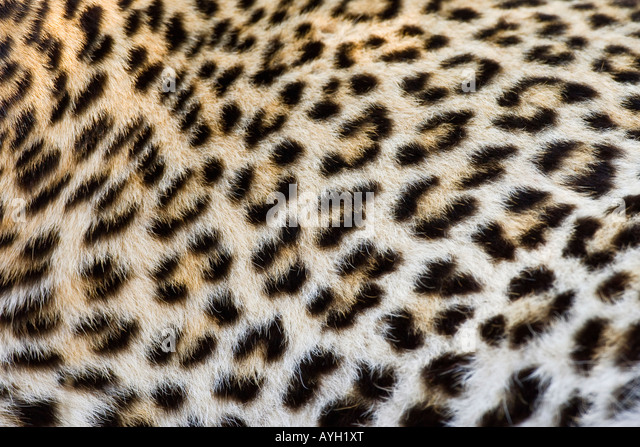 Close up of Leopard, Greater Kruger National Park, South Africa - Stock Image
