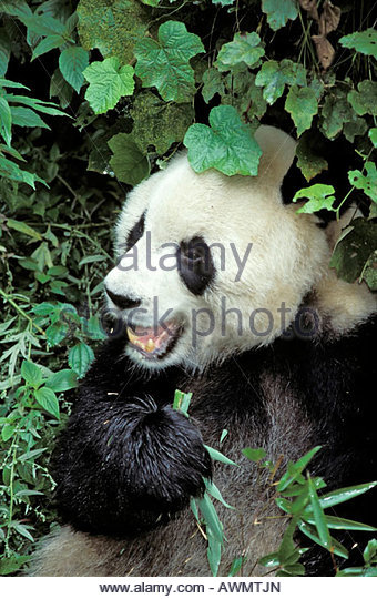 Giant Panda, Ailuropoda melanoleuca, Panda centre, Wolong Valley, Himalaya, China - Stock Image
