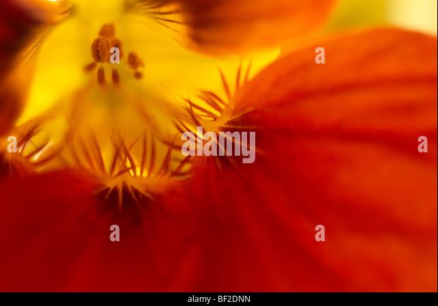Nasturtium, Tropeaolum majus, close-up, close up, macro, orange, yellow, flower, flowers - Stock Image