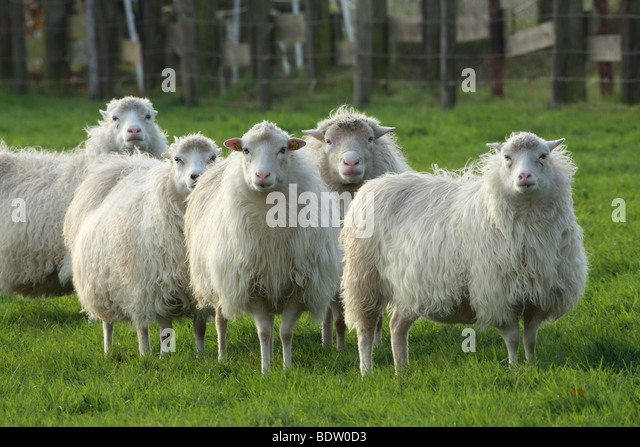 Hausschaaf, Sheep - Stock Image