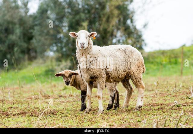 sheep&baby Sheep - Stock Image