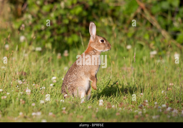Rabbit; Oryctolagus cunniculus; meadow; Cornwall - Stock Image