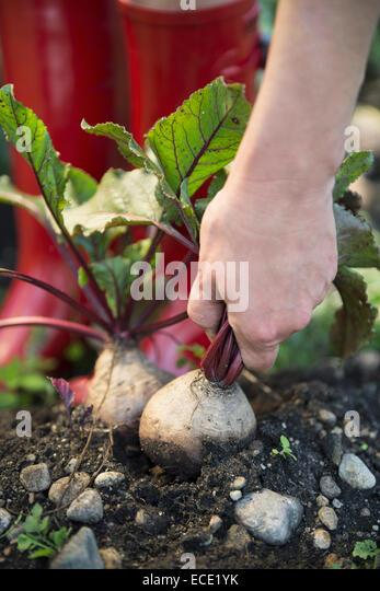 Earth garden harvest crop beet root hand - Stock Image