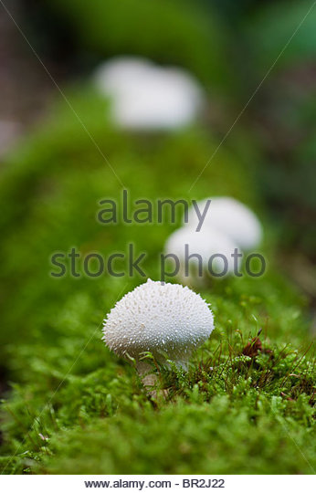 Lycerpodon Perlatum. Puffball mushrooms growing on an old moss covered fallen tree branch - Stock Image