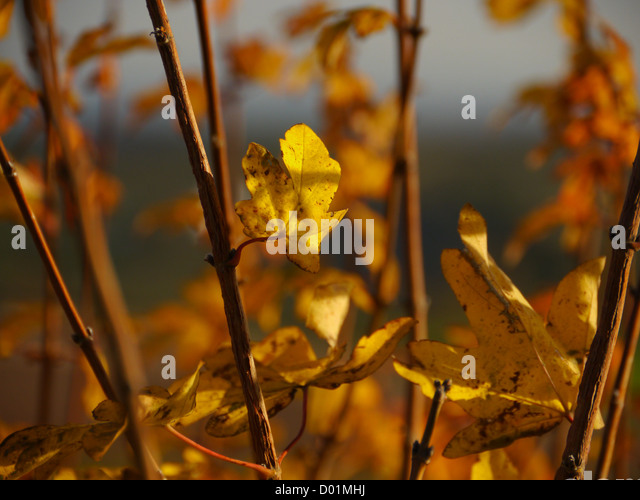 Twigs and leaves in autumn (the fall) - Stock Image