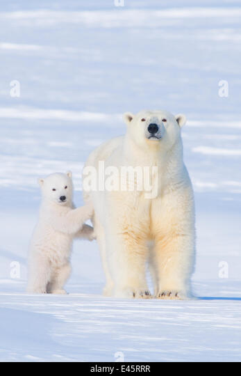 Portrait of Polar bear (Ursus maritimus) sow standing with her cub on the snow in late winter, Arctic coast of Alaska - Stock Image