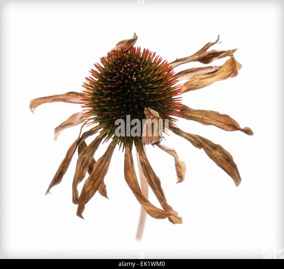 Wilted 'Echinacea purpurea' Cone flower, series DB 2 of 3 - Stock Image