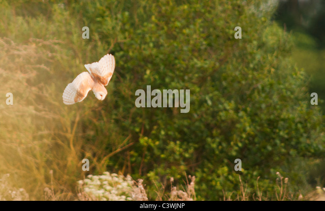 Barn Owl (Tyto Alba) with diving for prey, Warwickshire - Stock Image