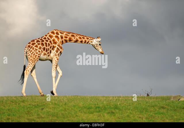 Giraffe walking against dark sky - Stock Image