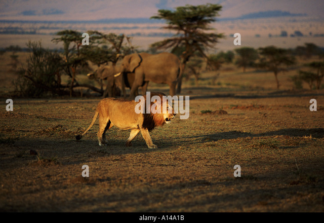 Lion in the early morning Masai Mara Kenya - Stock Image