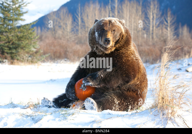 CAPTIVE Grizzly plays with a pumpkin during Winter at the Alaska Wildlife Conservation Center, Alaska - Stock-Bilder