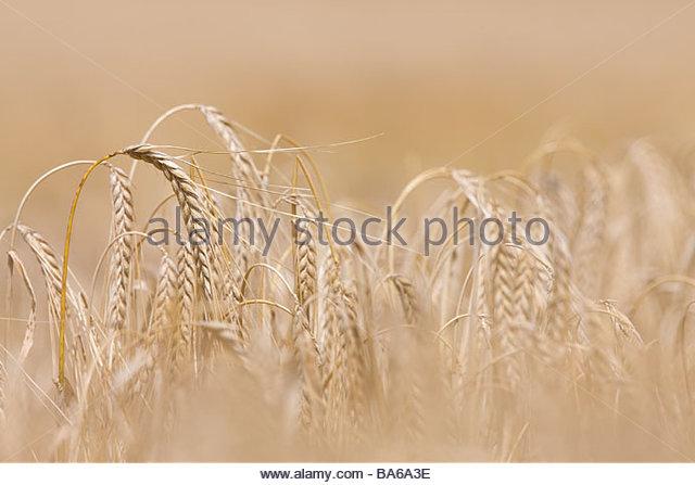 Close up of barley stalks - Stock Image
