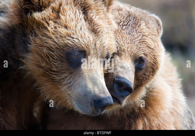 CAPTIVE Grizzly bears playing at the Alaska Wildlife Conservation Center CAPTIVE - Stock-Bilder