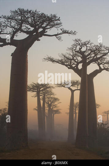 Avenue of baobabs at dawn in the mist. General view. Madagascar. An excellent illustration. - Stock Image