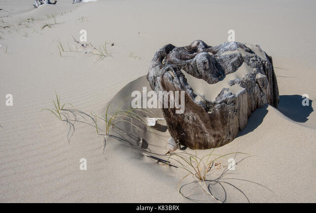 Drift Wood Stump Buried In Sand in Oregon dunes - Stock Image