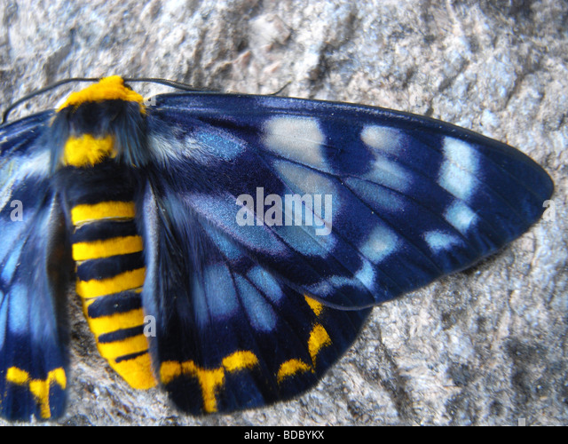 Four-o'clock moth (Dysphania fenestrata), so named because it generally becomes active in the late afternoon - Stock Image