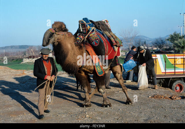 Wrestling Camel or Dromedary and Camel Owner or Cameleer at the Annual Camel Wrestling Championships Held in the - Stock Image